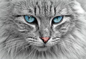 חיסון לחתולים